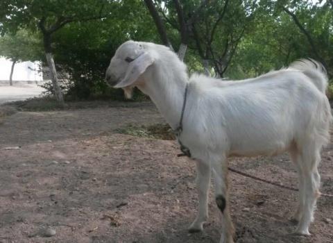Исфара. Животноводство(козы).