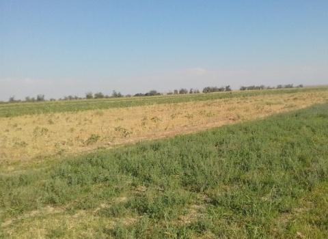 Зафаробод,.Джамоат Алиев.Растениеводство. Тминь.